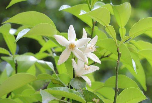 柚子の花,ゆずの木,画像