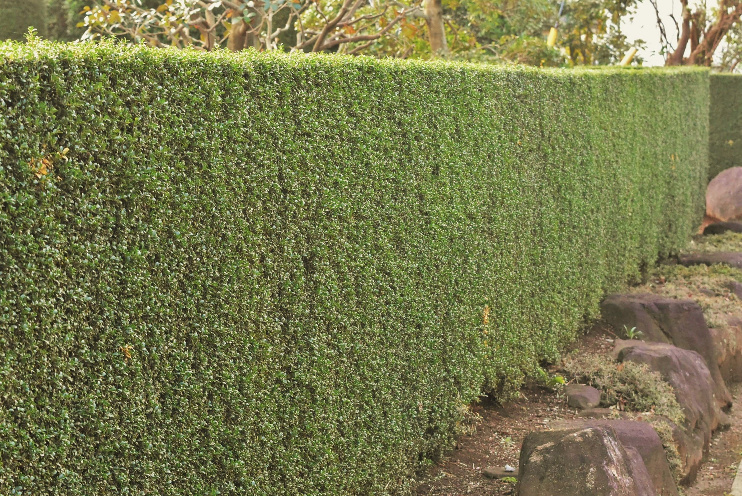 垣根に適した木 イヌツゲ