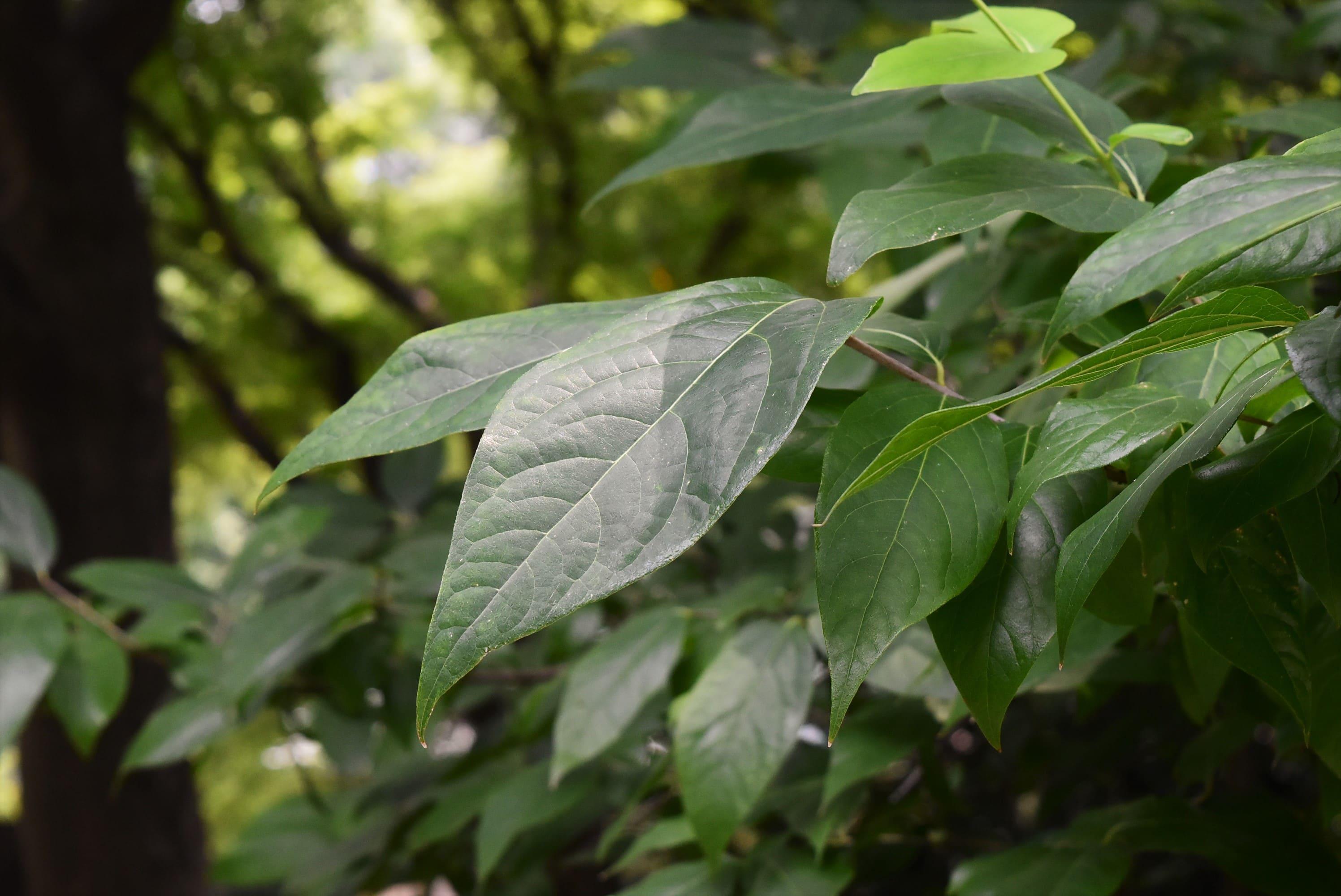 蝋梅の葉 ザラザラ