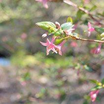 ピンクの花が咲く木の名前