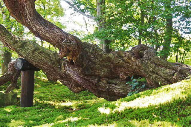 梅の古木 画像