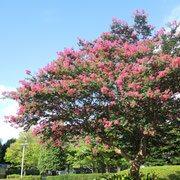 ピンクの花が咲く木 画像