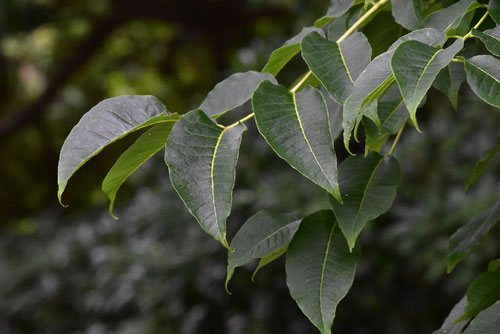 Amur Corktree,leaves,picture