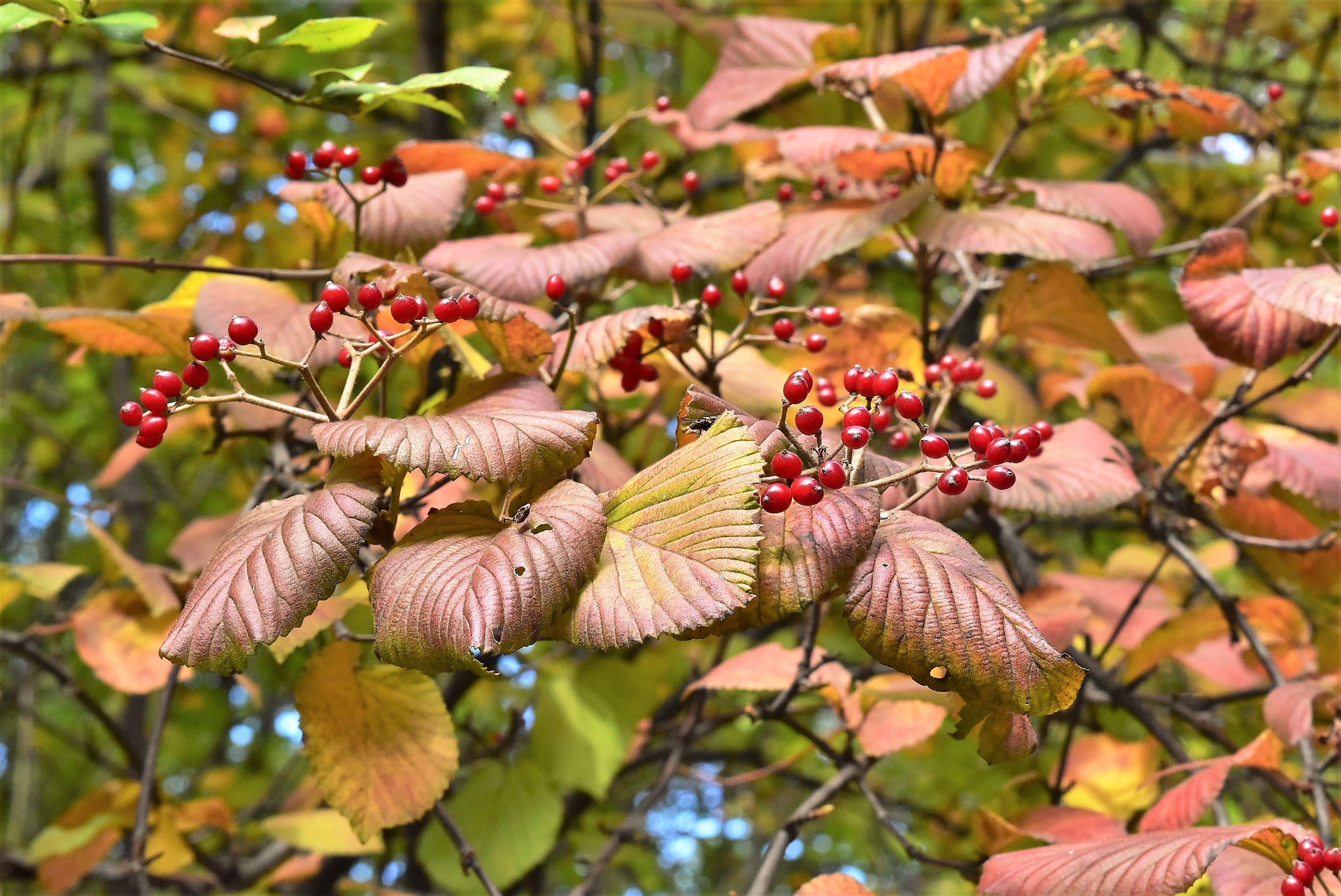 ガマズミの紅葉 黄葉