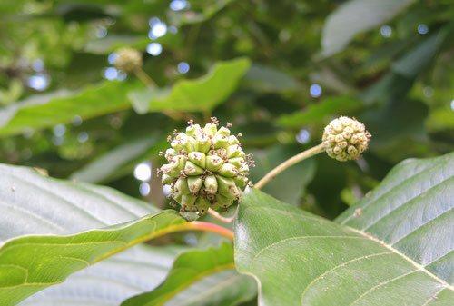 カンレンボクの花,かんれんぼく,画像