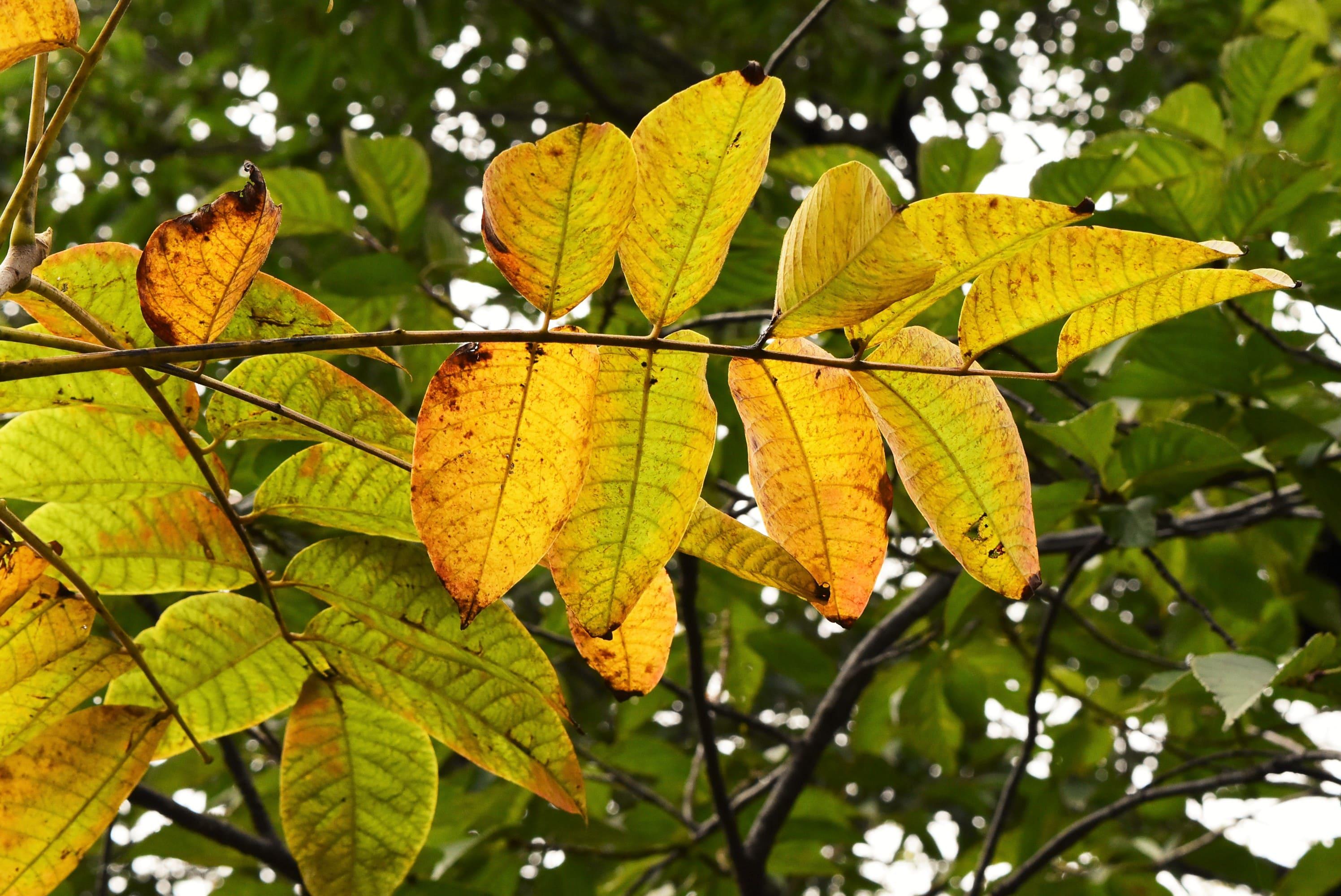 漆の黄葉 木