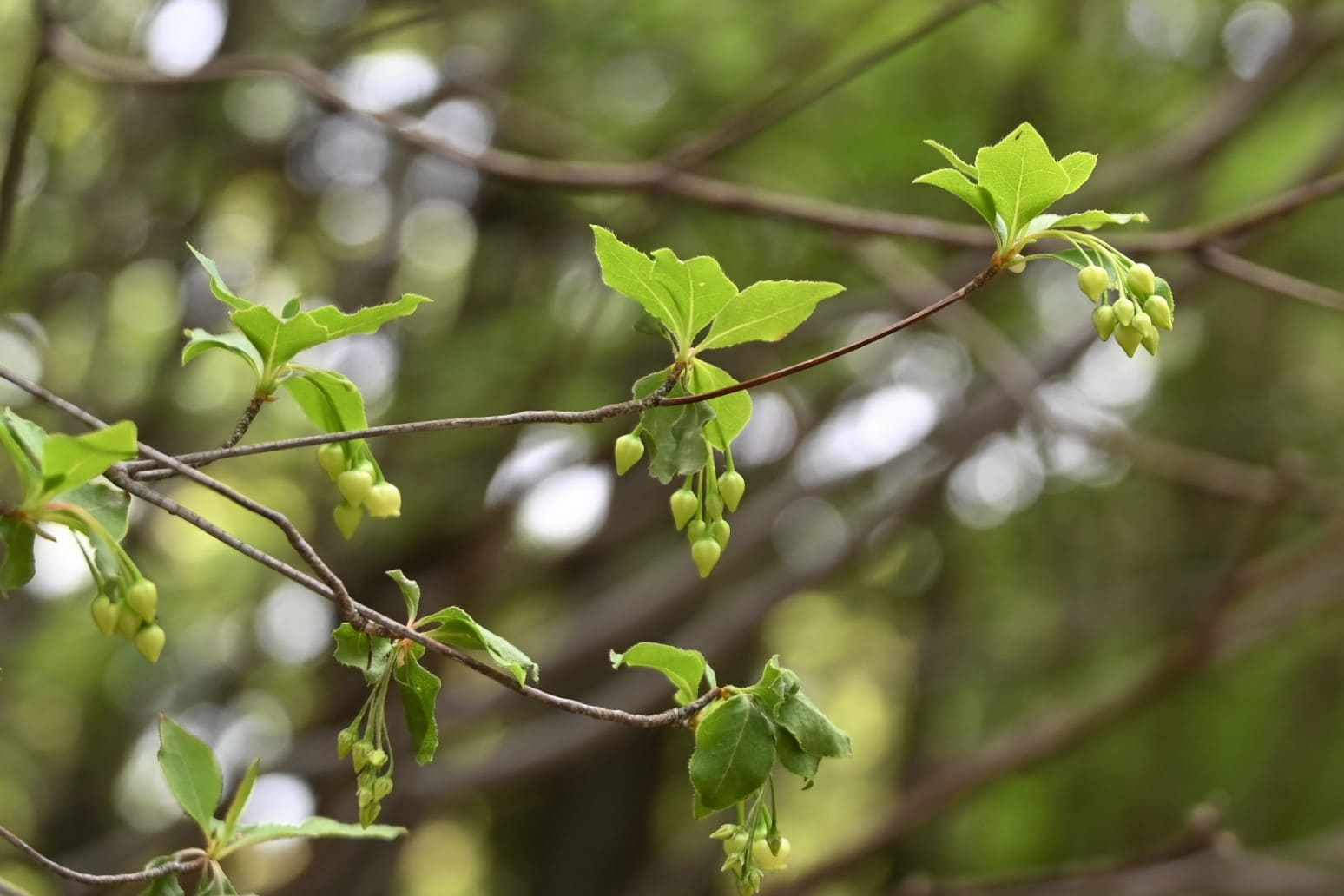 ヤマドウダン,あぶらつつじ,木,葉っぱ