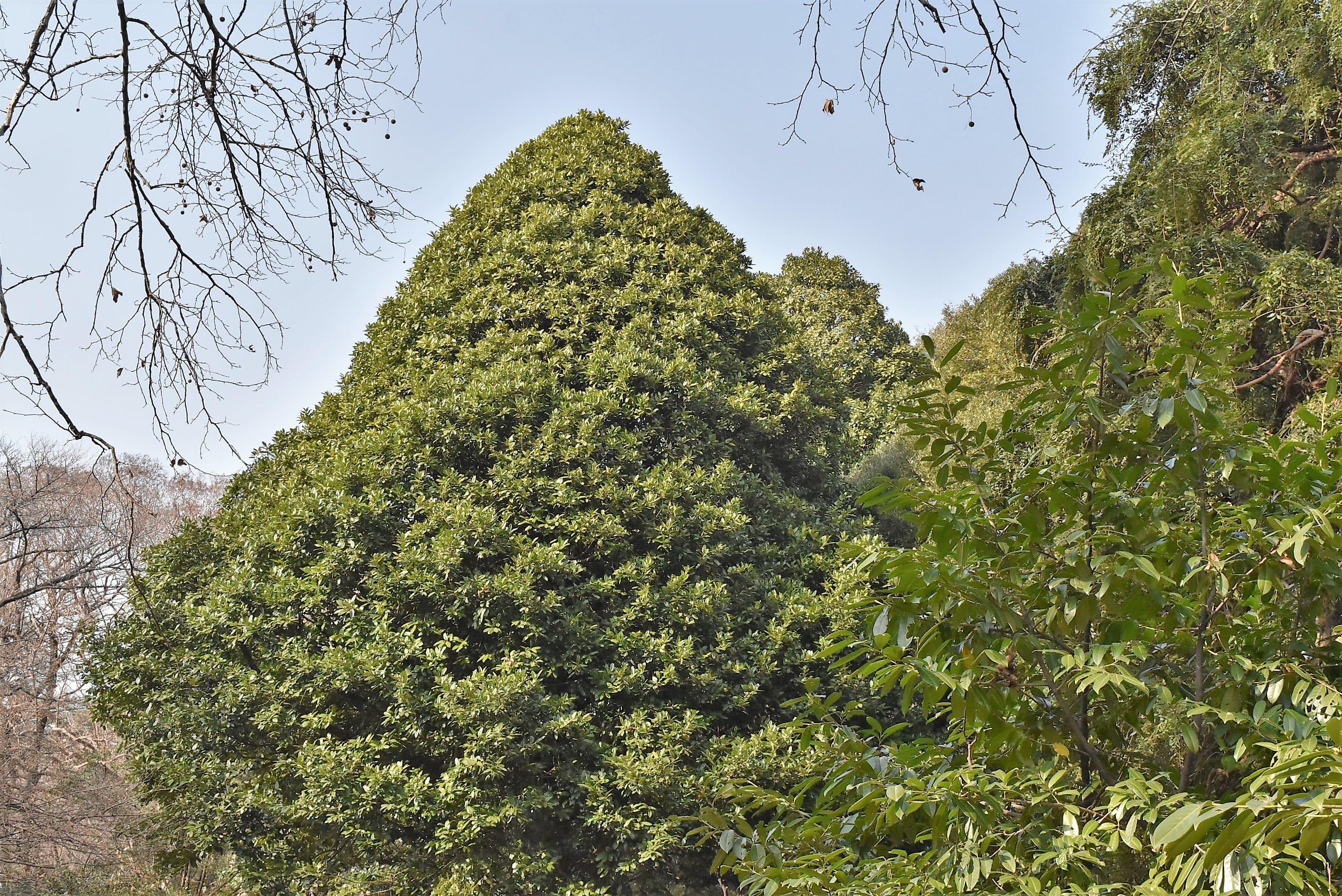 Tarajo holly,tree