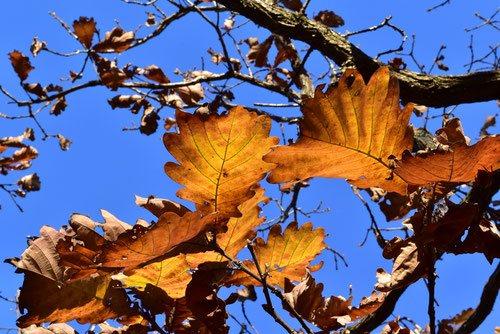 カシワの紅葉