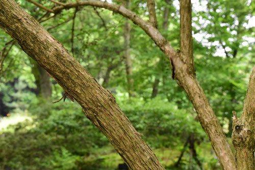 ウツギ 樹皮