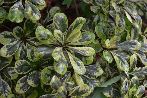 海桐 トベラ 種類