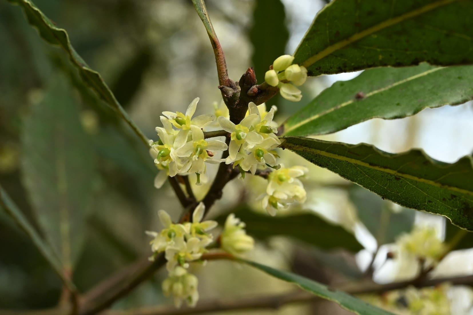 ゲッケイジュ(月桂樹) - 庭木図鑑 植木ペディア