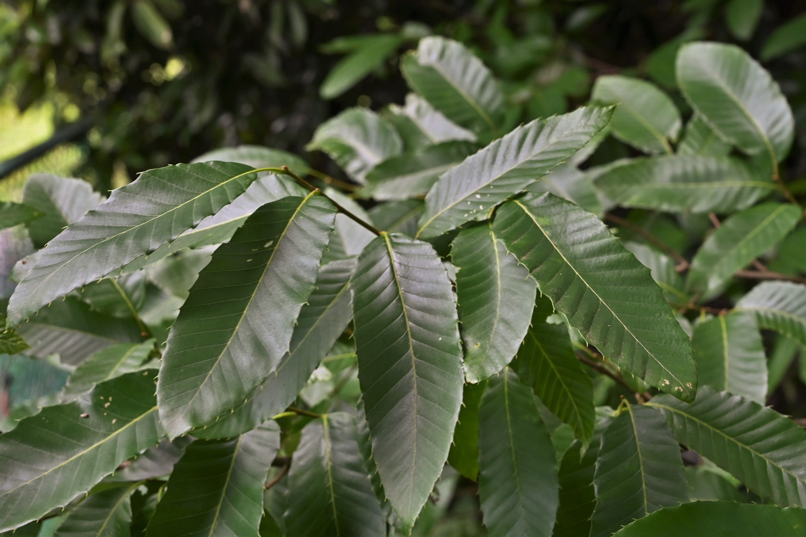 クヌギに似た木 櫟 椚
