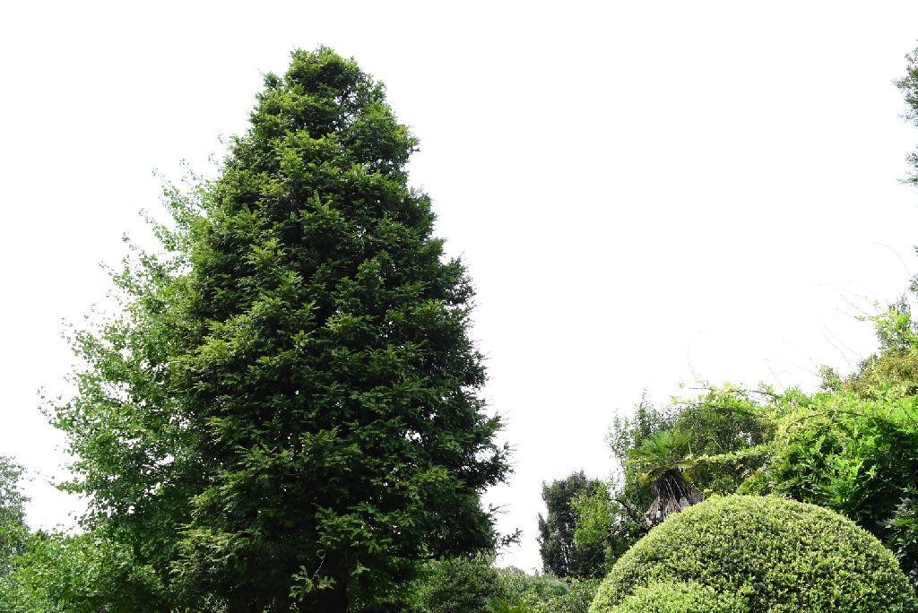 カヤの木 樹木図鑑