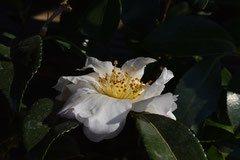 白い花のかんつばき 名前 種類