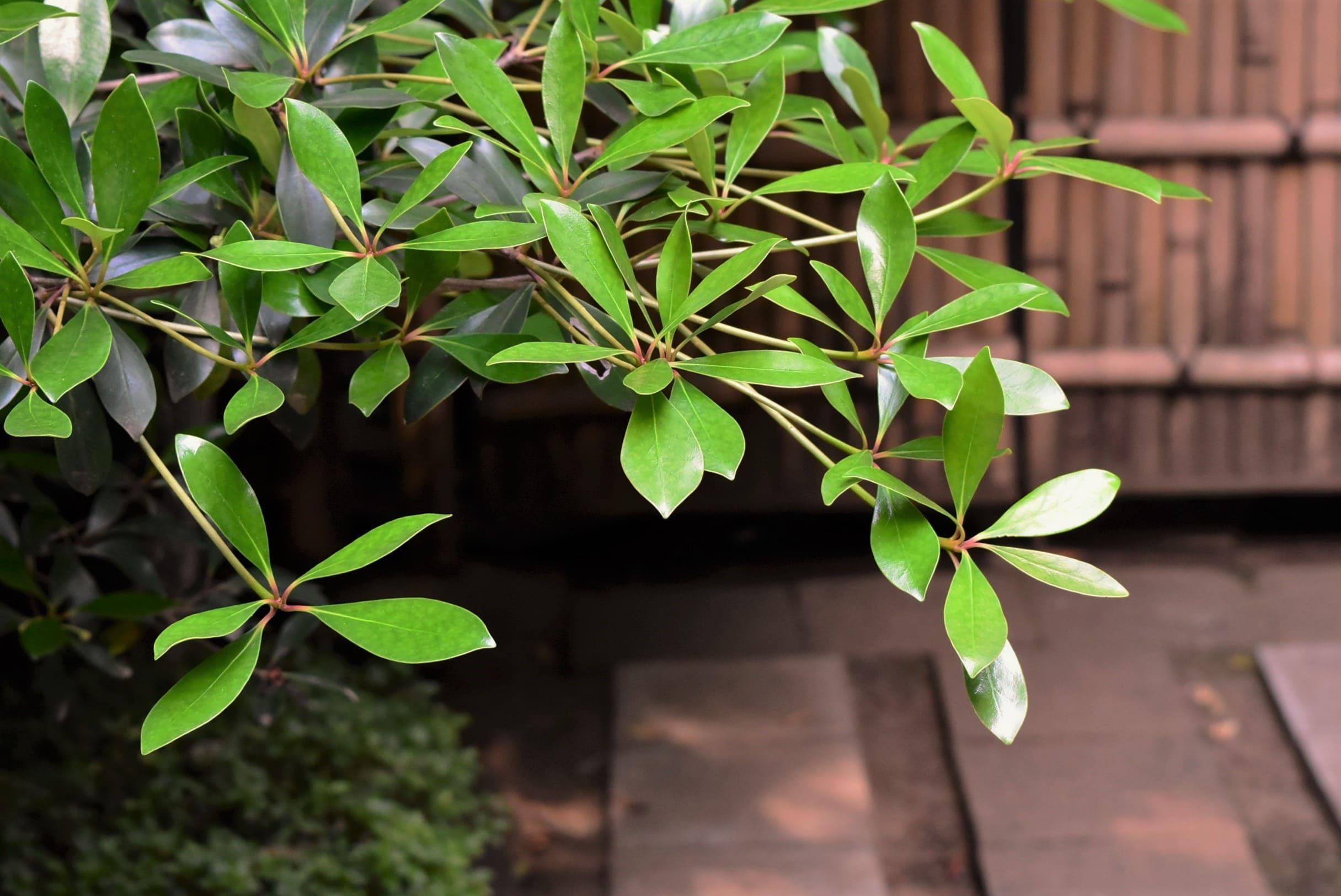 モッコクの葉っぱ 特徴