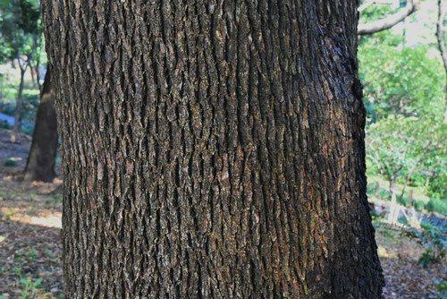 トトロの木,幹,くすのき