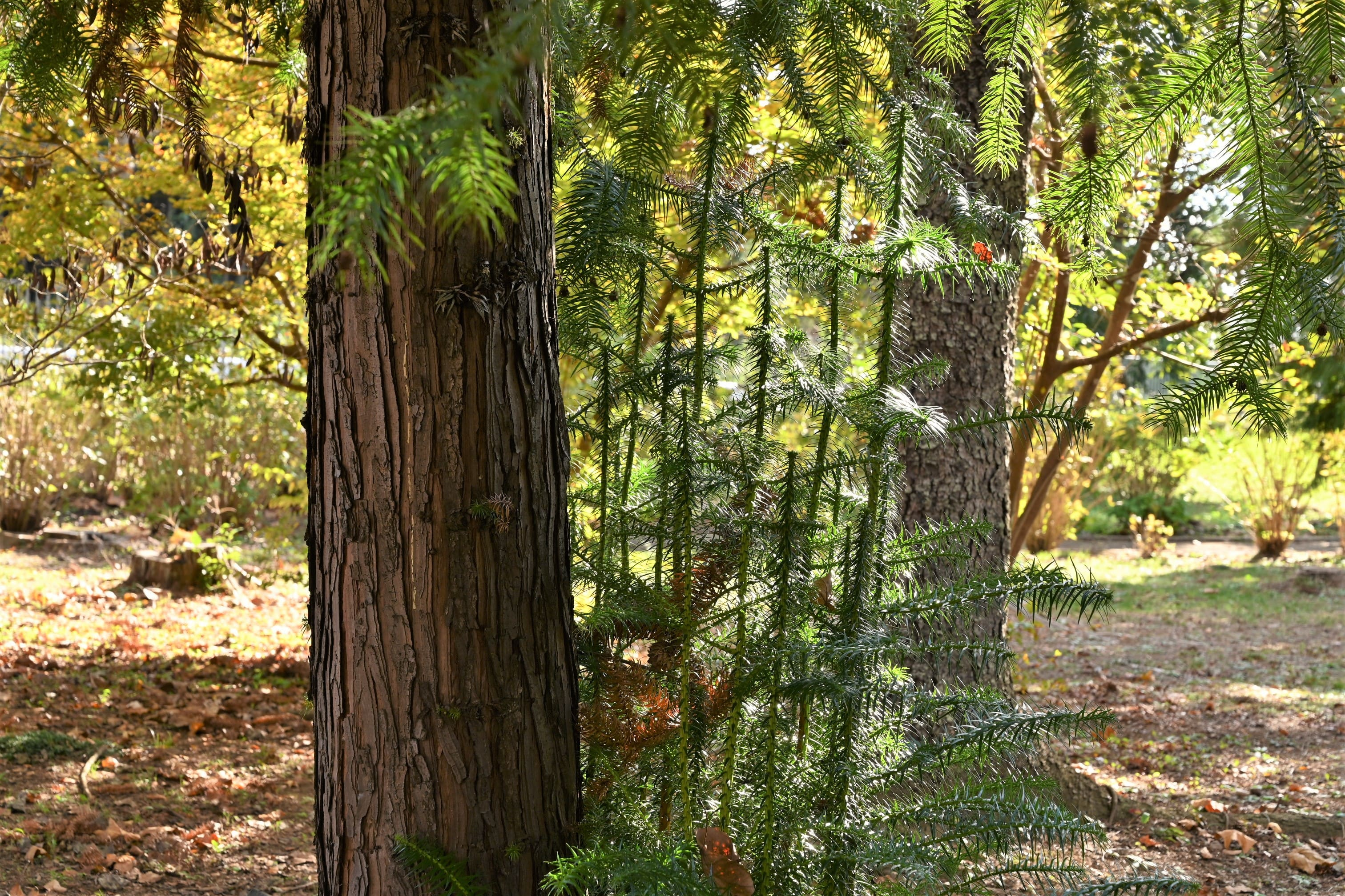 China fir,leaves