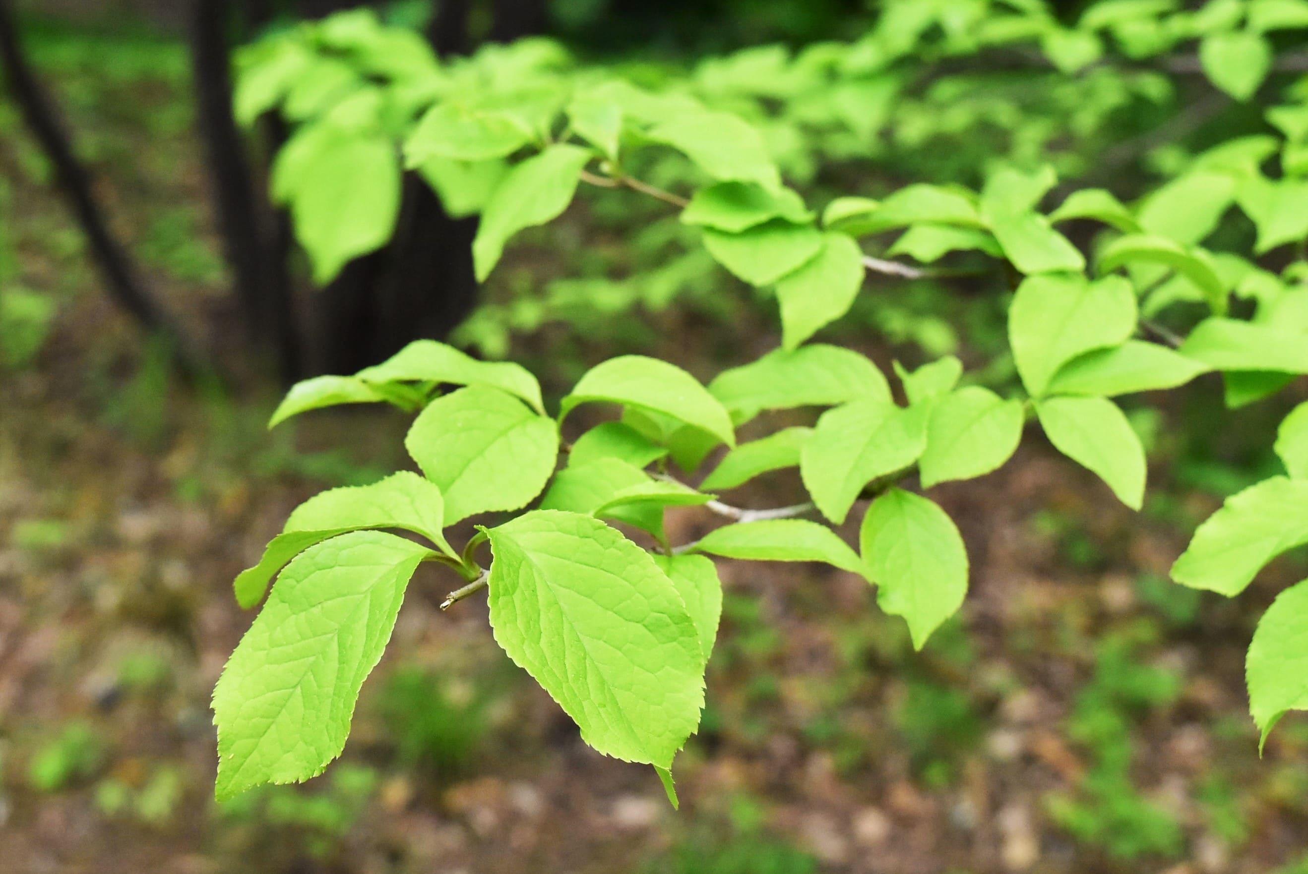 アオハダの葉っぱ 画像