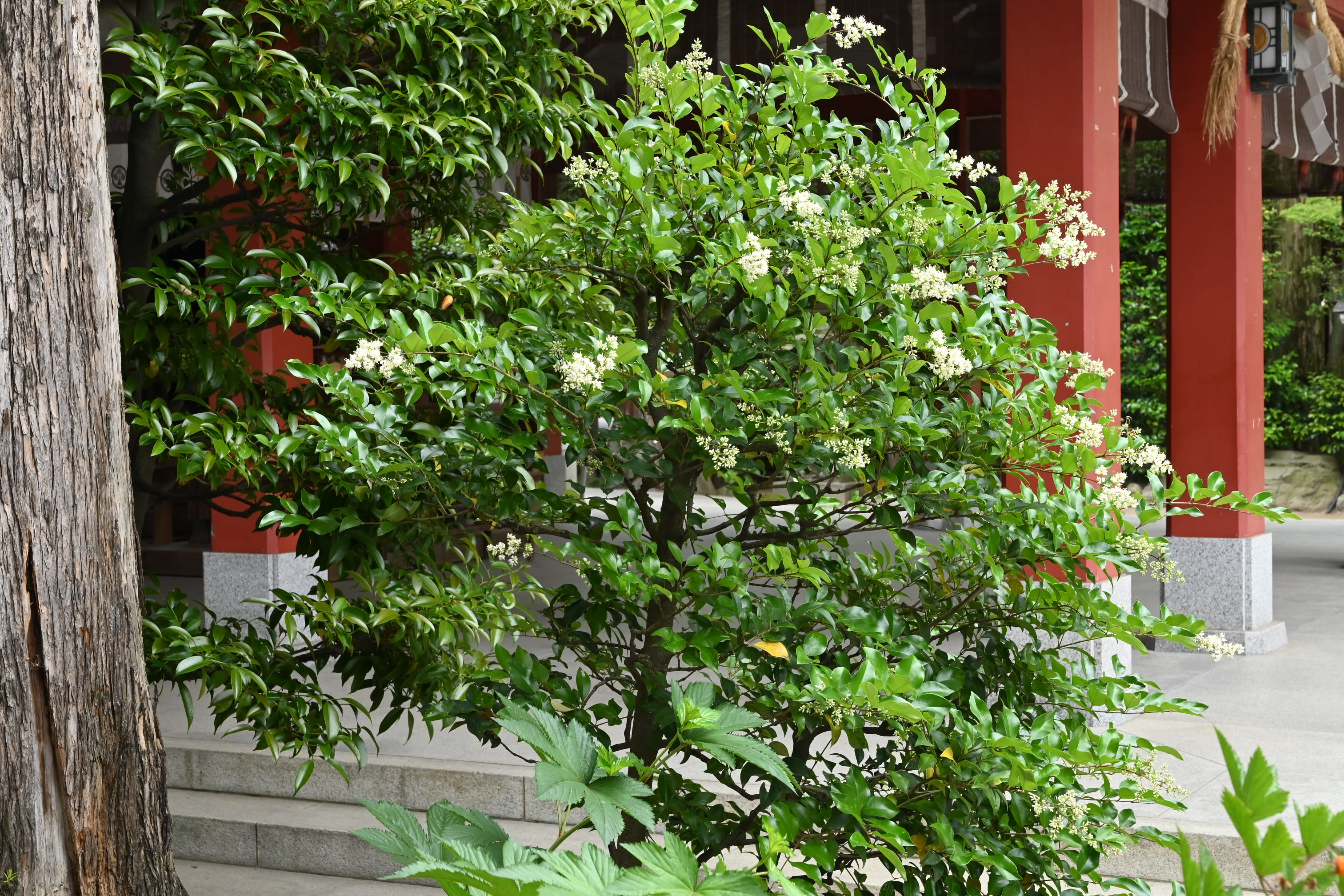 Japanese privet tree