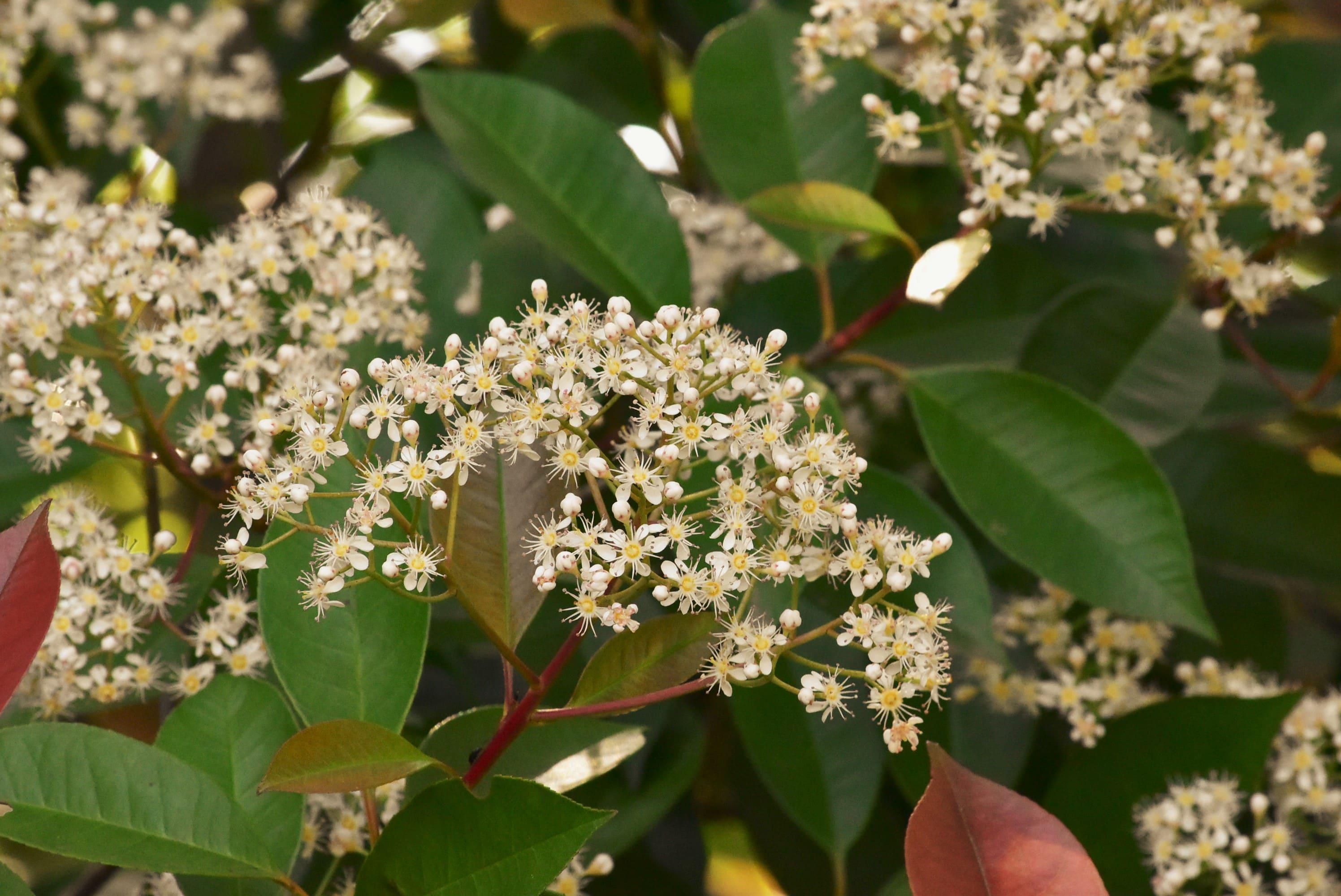 カナメモチの花,かなめもち,時期,特徴