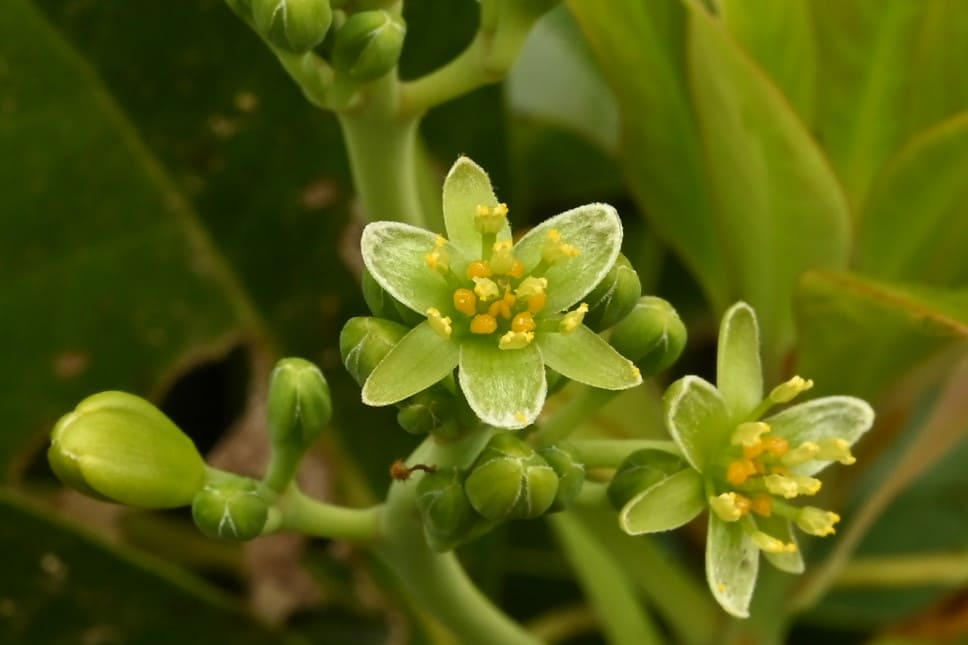 タブノキの花 画像