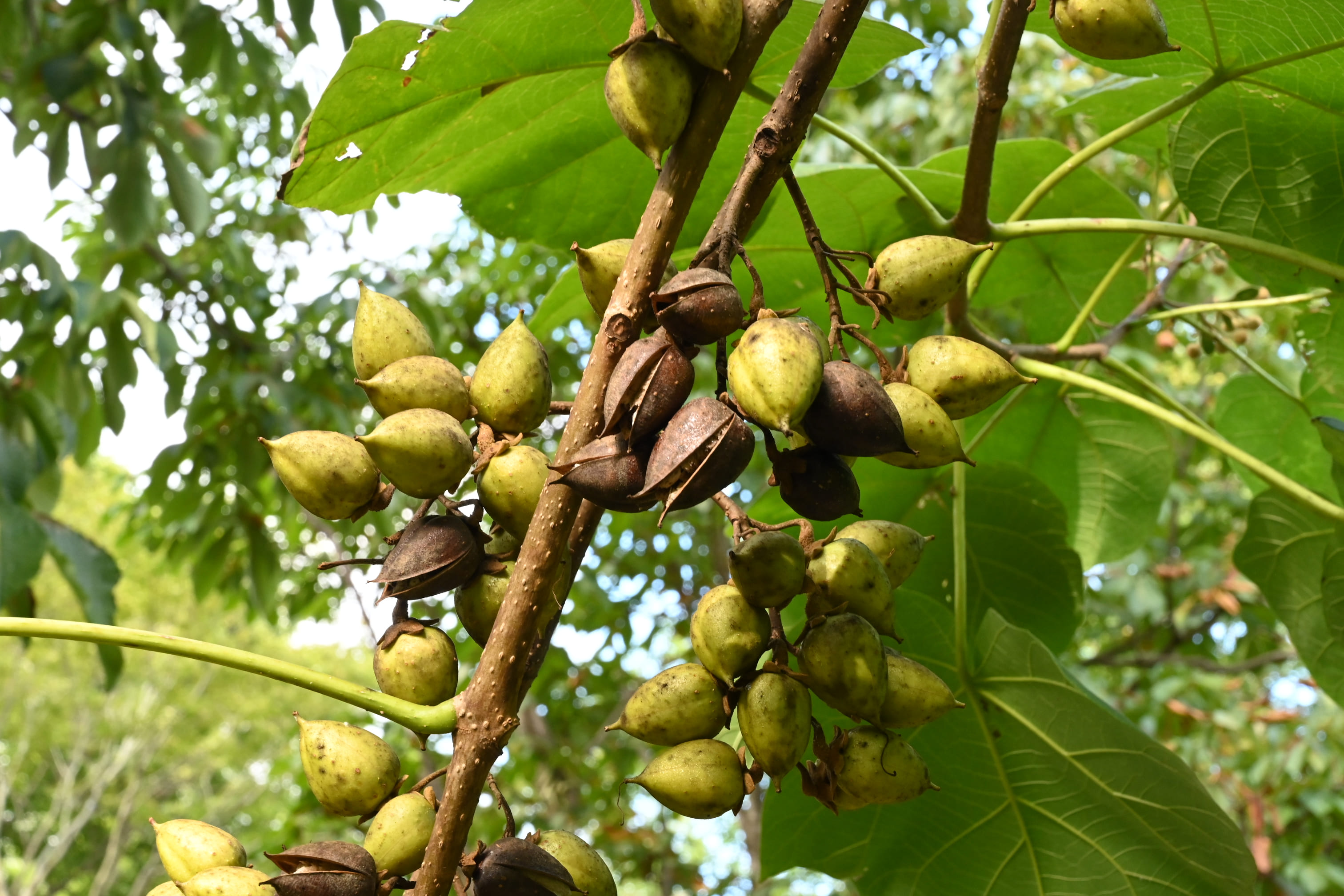 fruits of Paulownia,Empress tree