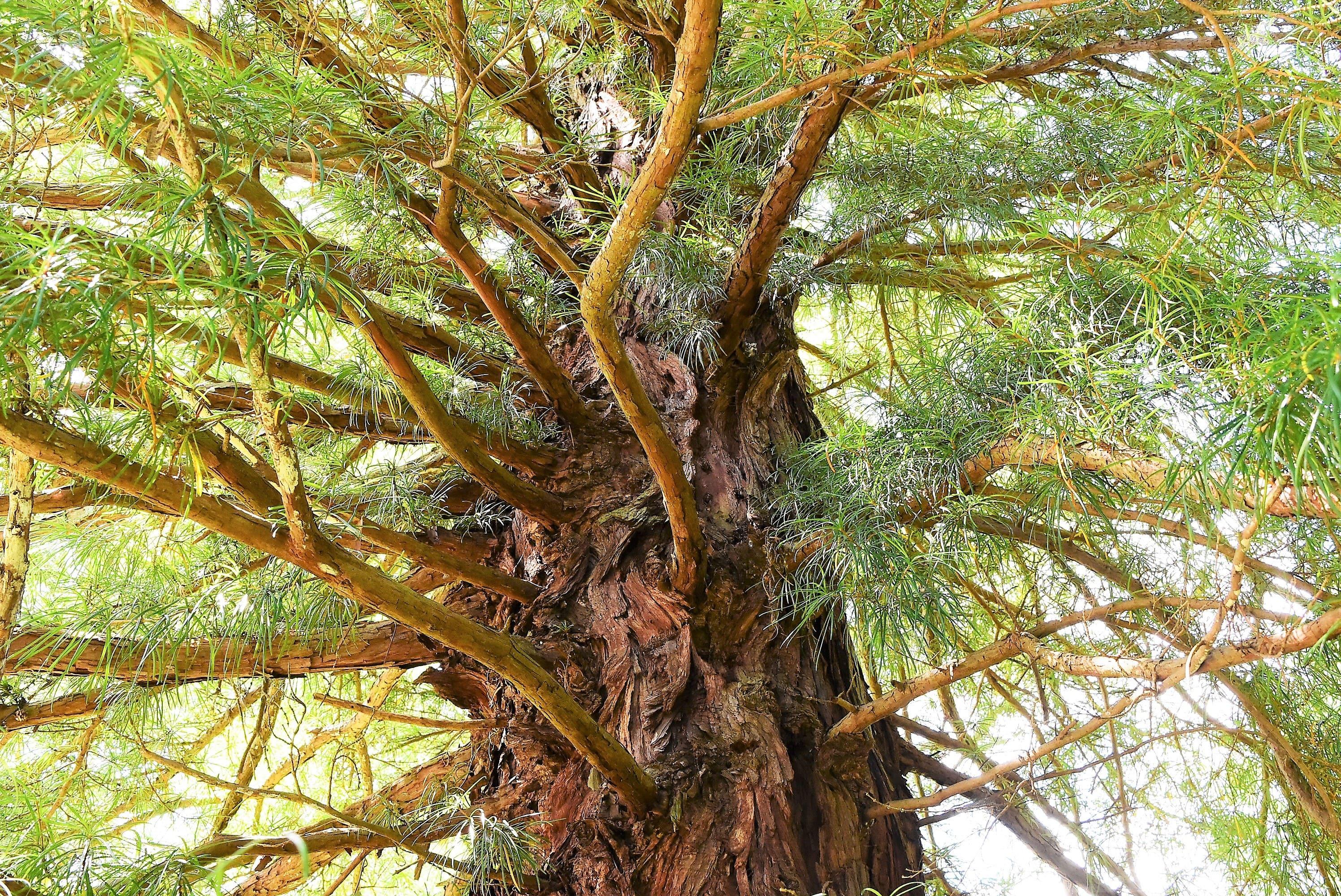 コウヤマキ 老木