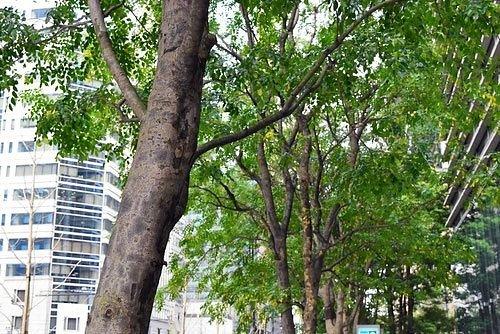 大きなシマトネリコ 並木
