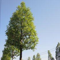 育つのが早い樹木