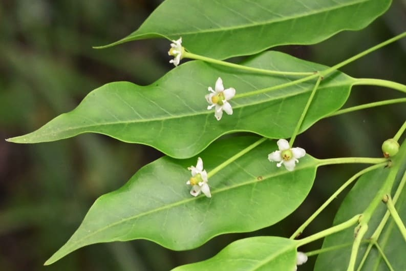 Longstalk Holly,flower