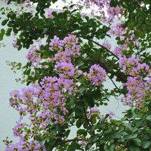 紫の花 種類 夏