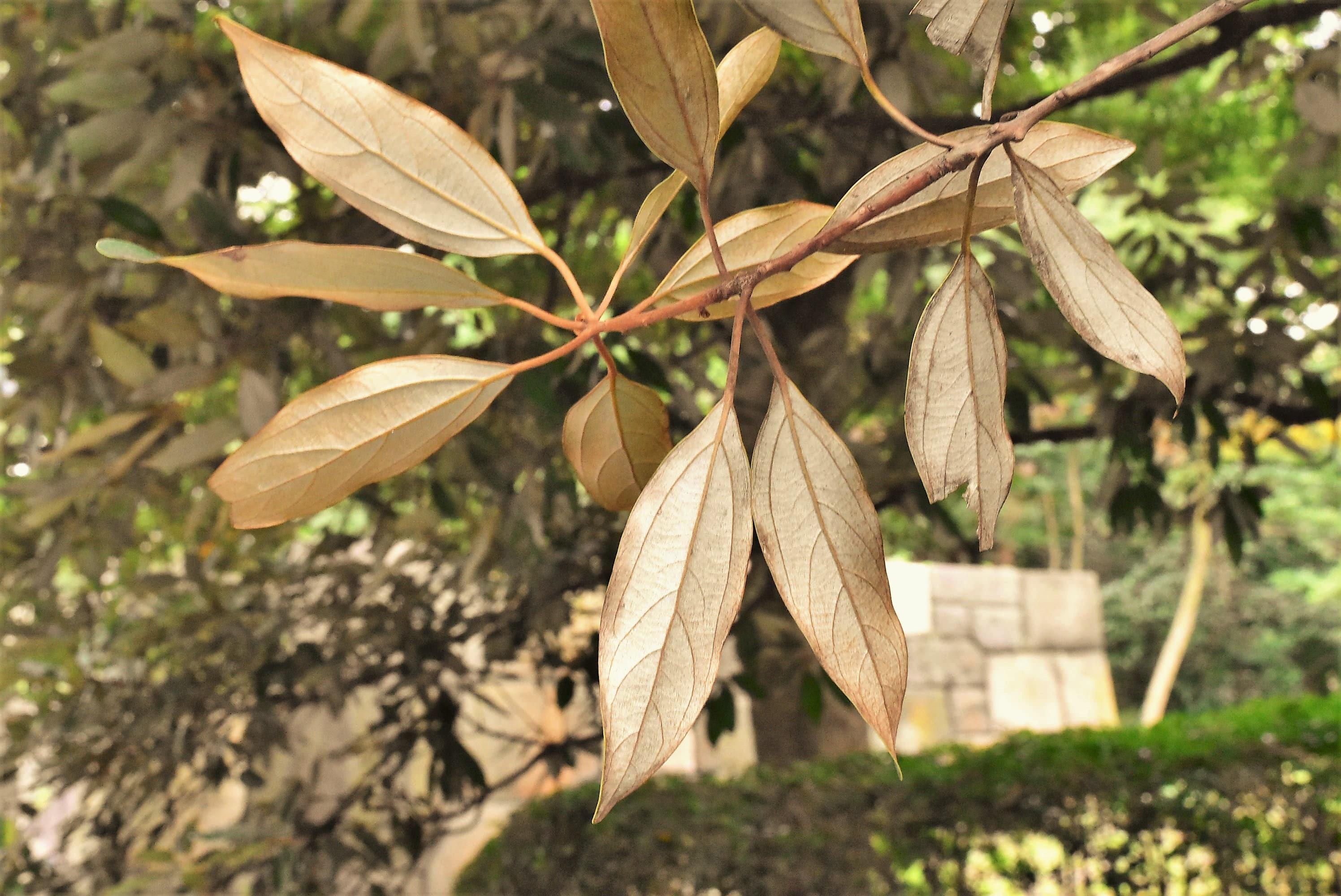 白ダモ 樹木 特徴