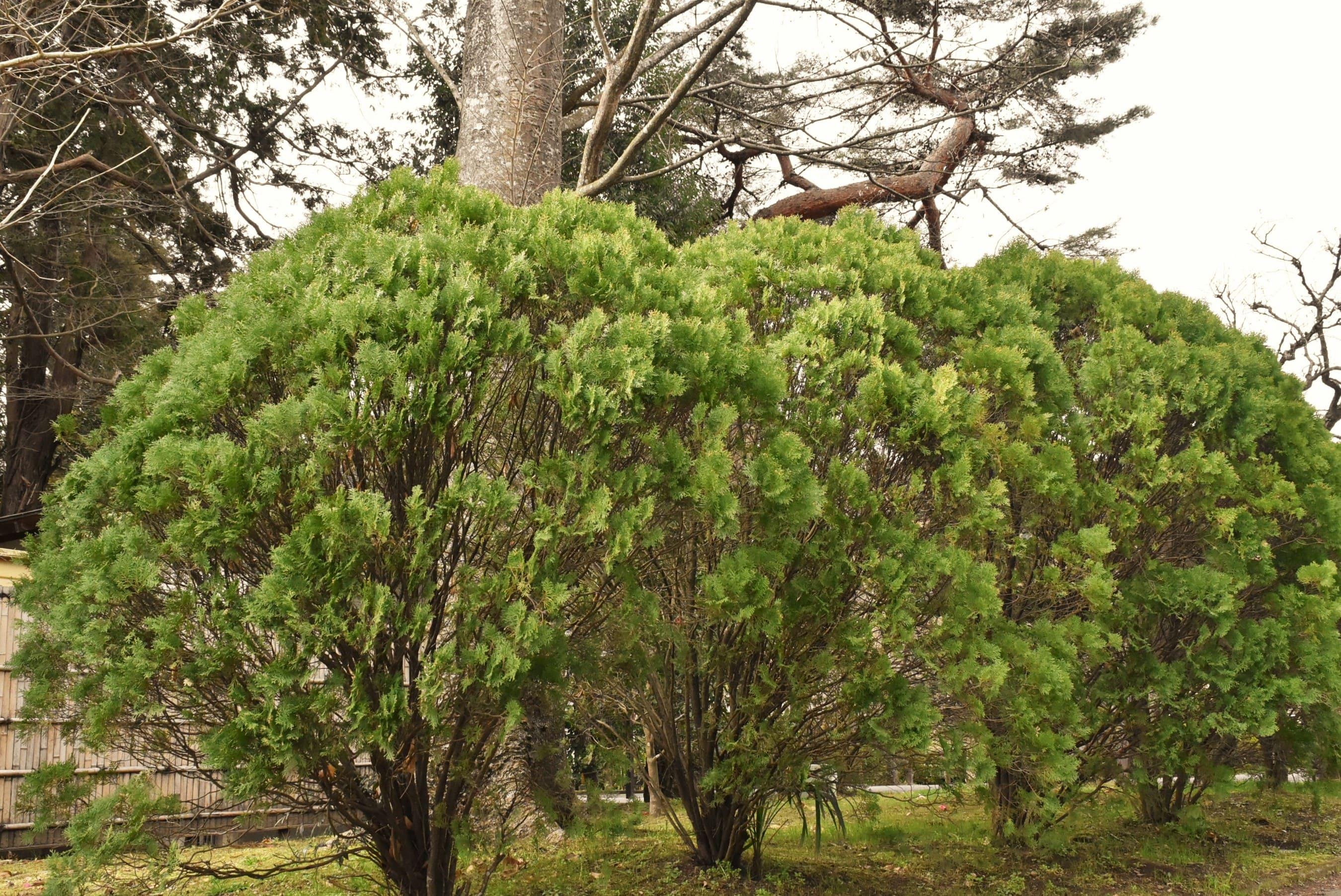 垣根に適した木 コノテガシワ
