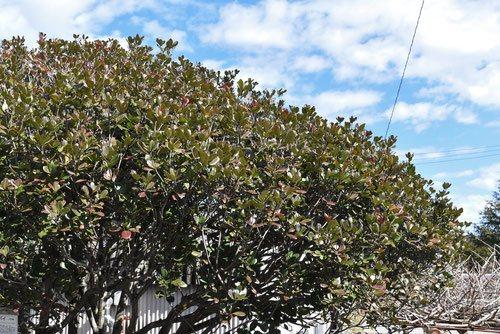 シャリンバイ 木