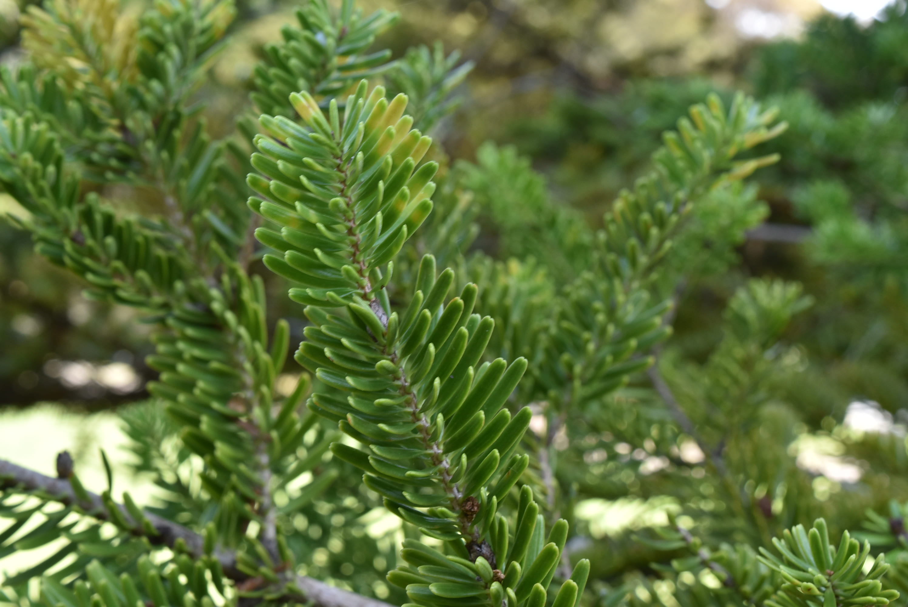 Fir tree in Japan