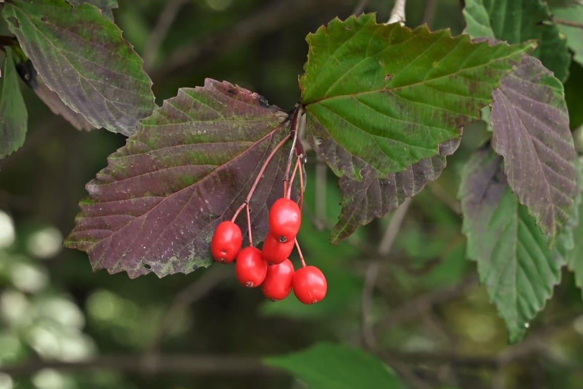 オトコヨウゾメ 紅葉 黄葉