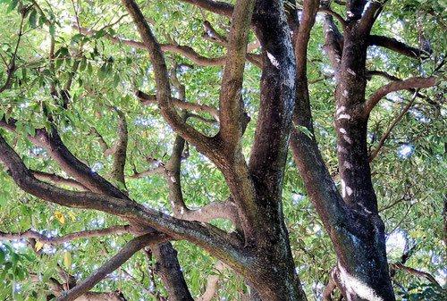 ホソバタブ 樹木図鑑