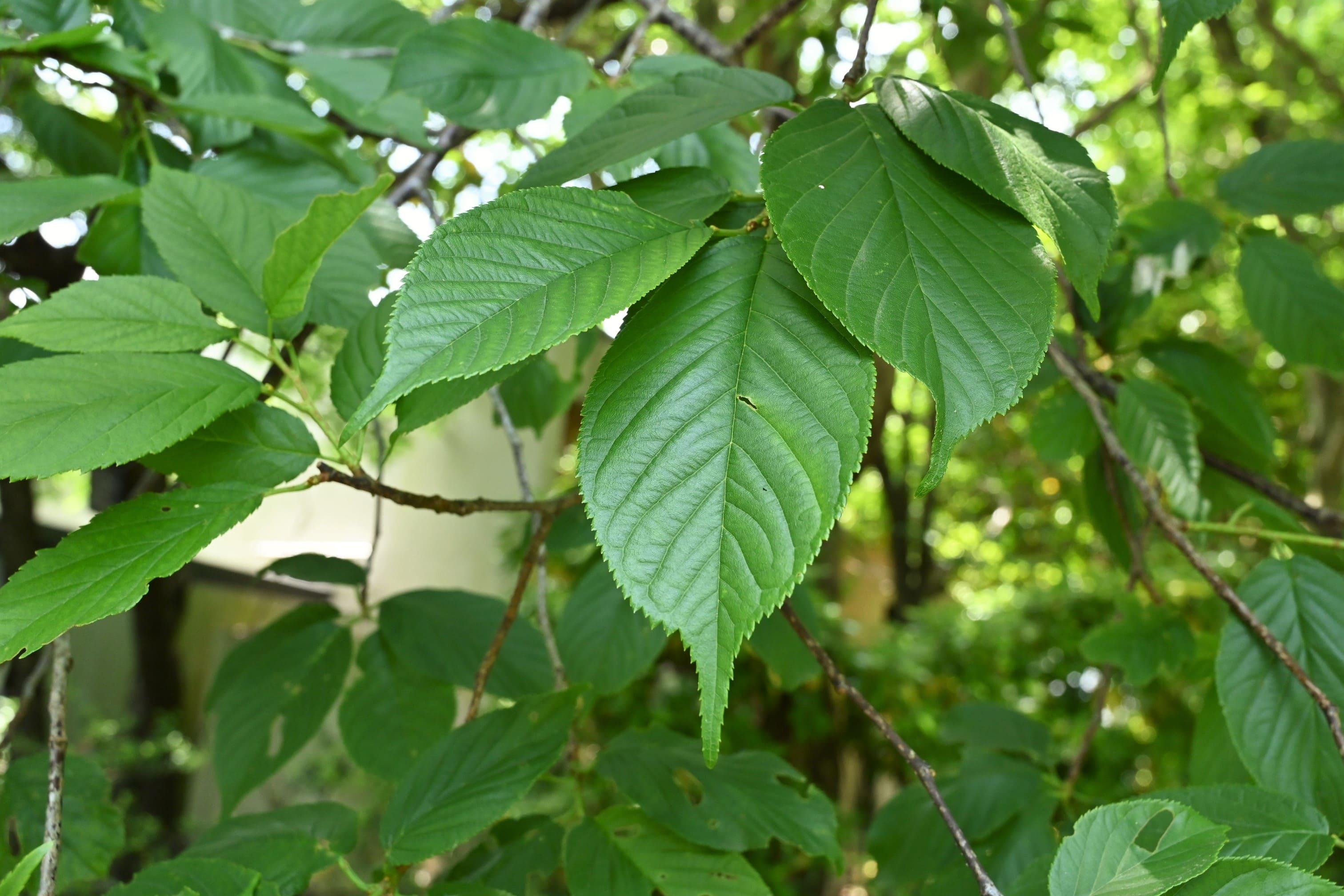 かんひざくら 葉っぱ 特徴