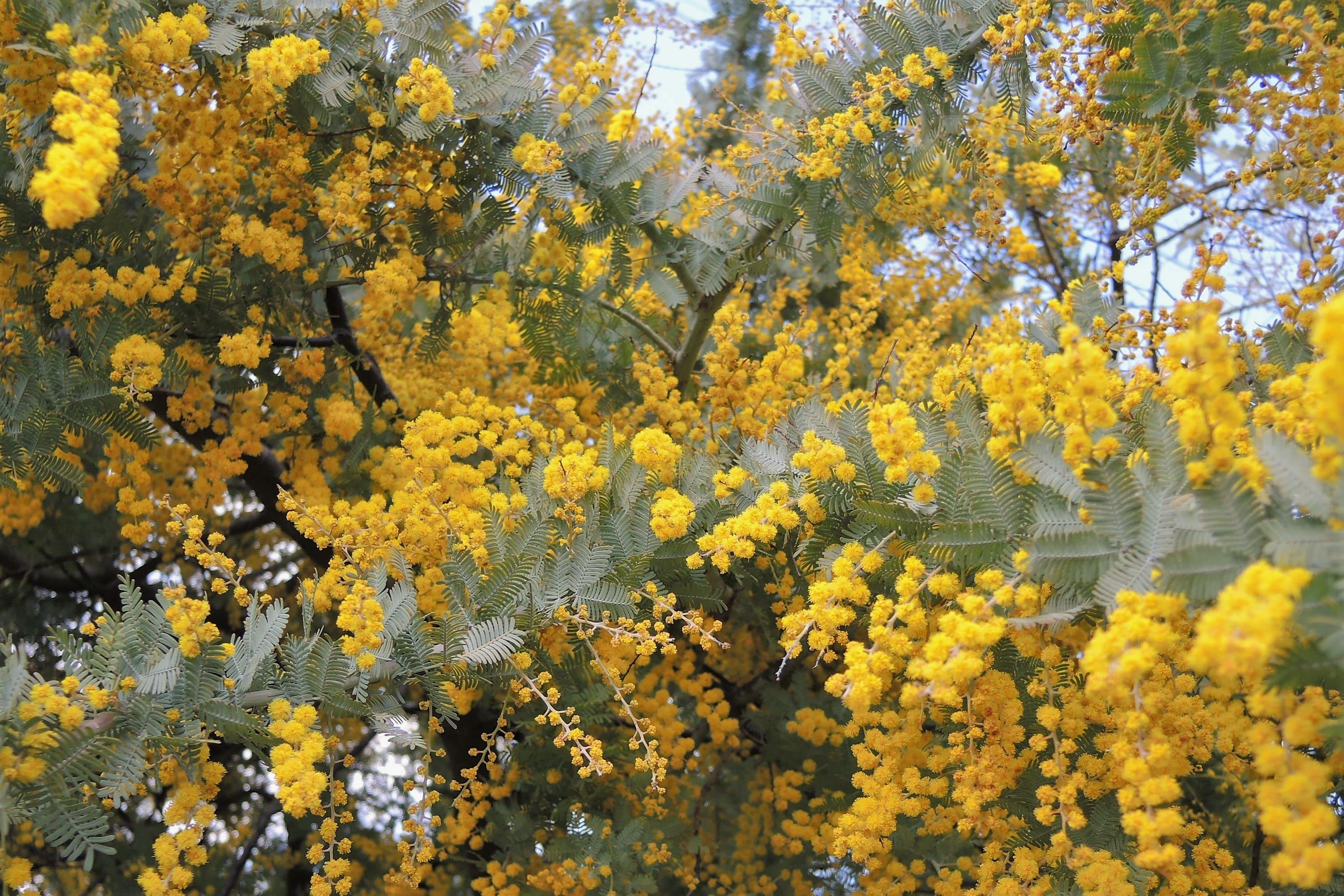 ミモザ 開花時期