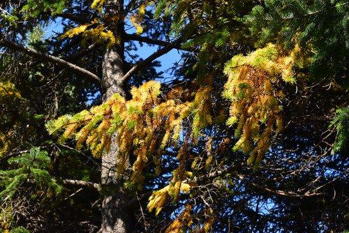 エゾマツ 葉っぱが黄色い