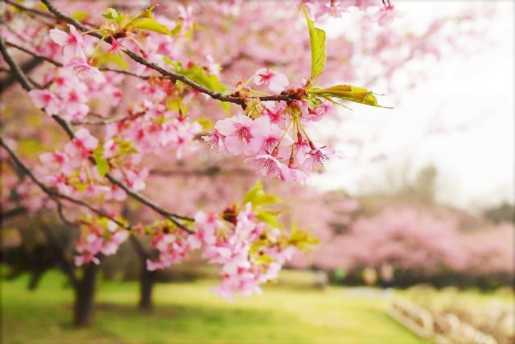 カワヅザクラ,開花