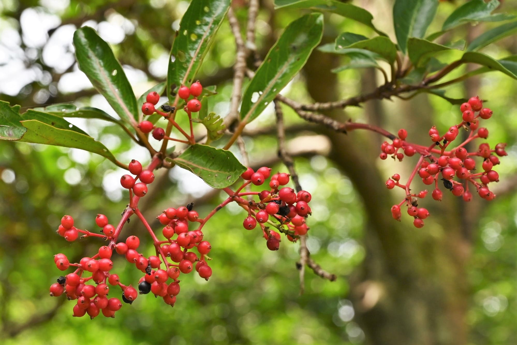 Sweet viburnum,fruits