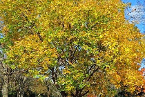 カイノキ 黄葉 紅葉