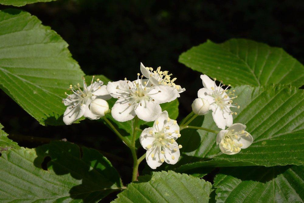 ハカリノメ 花