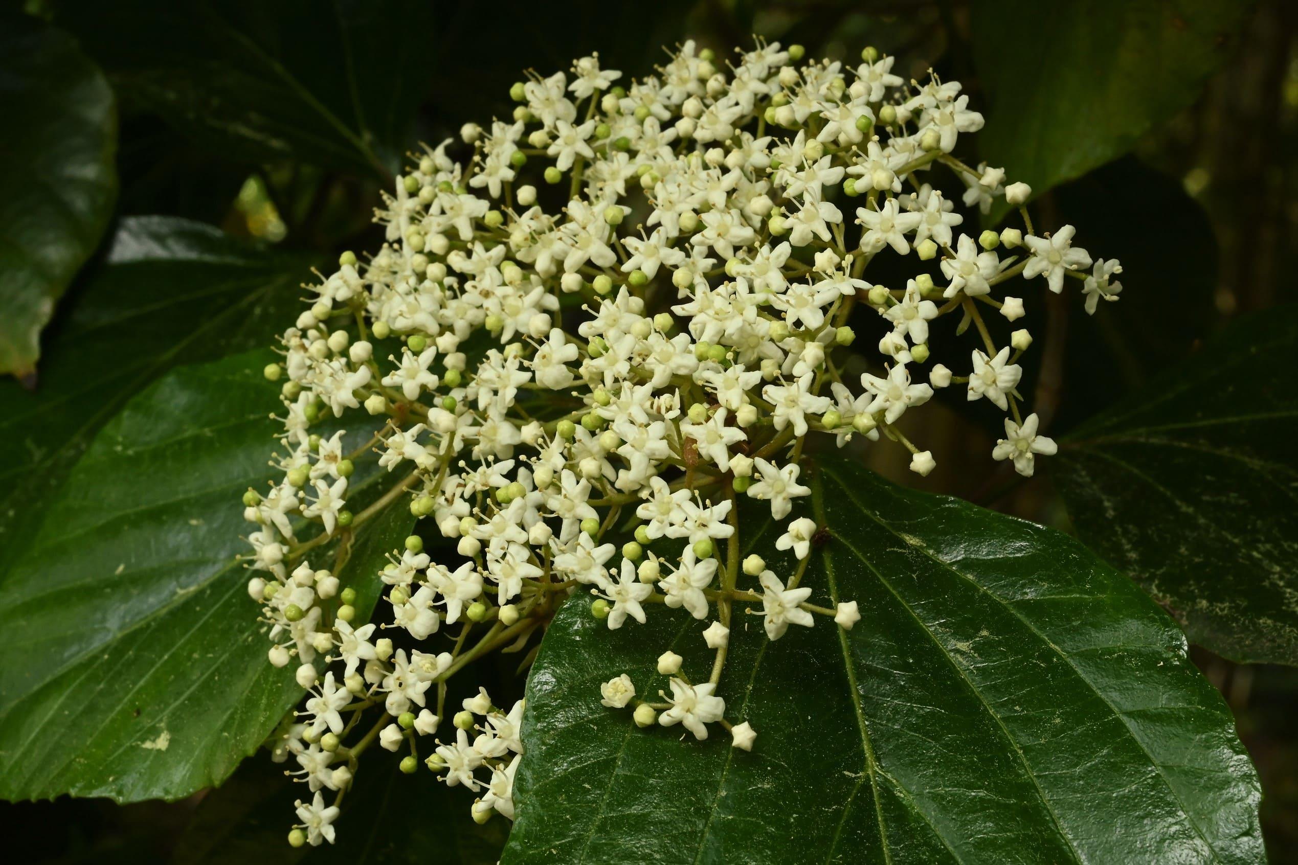 白山木 花 画像