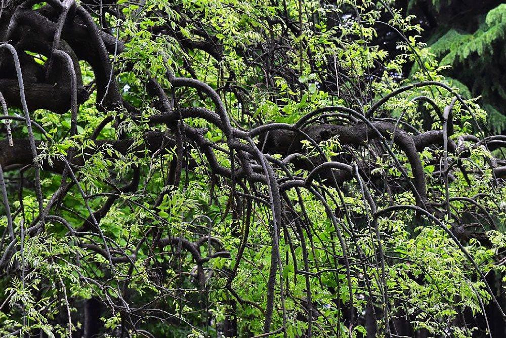 枝垂れ槐 画像