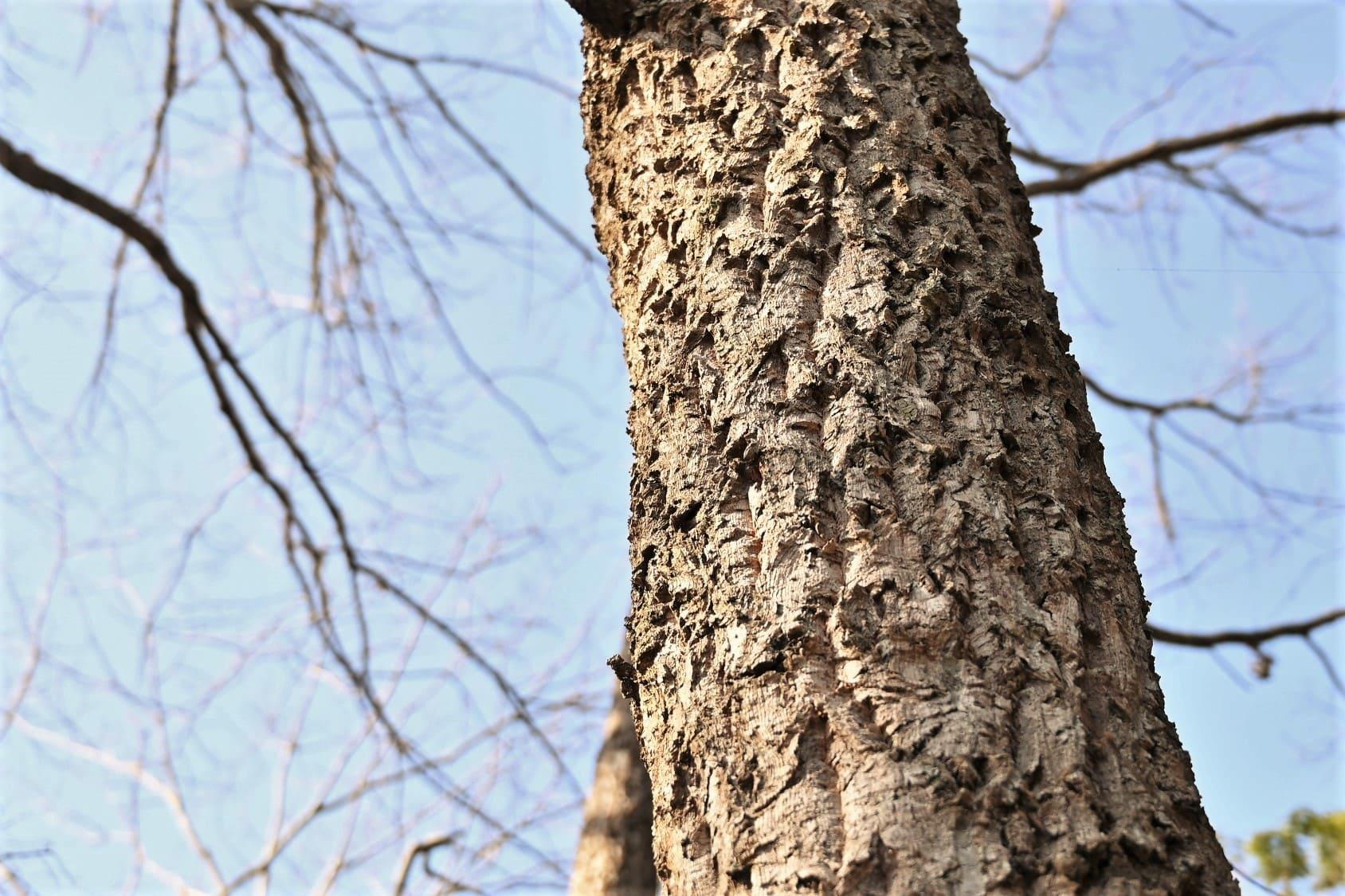 アベマキ 木の名前