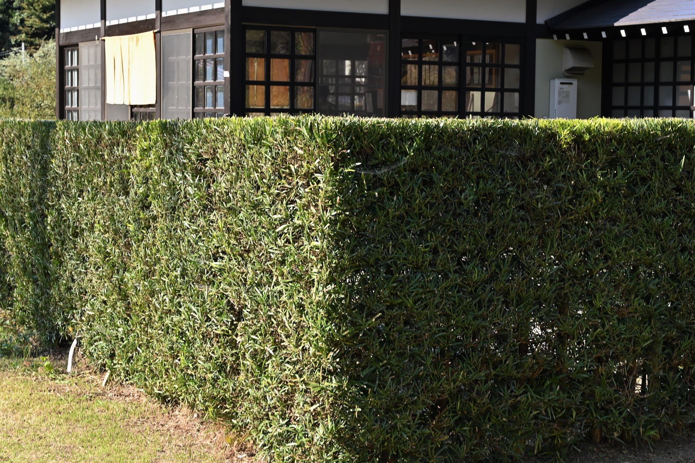 垣根に適した木 イヌマキ