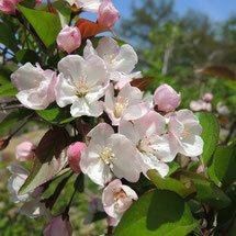 ピンクの花が咲く木 何